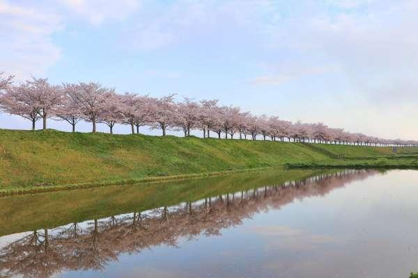 づつみ 回廊 桜 小野