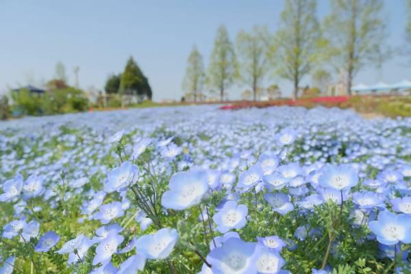 小野市ひまわりの丘公園【ネモフィラの青いじゅうたん】が絶景すぎる!見頃は5月上旬まで!