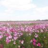 約200万本のコスモス畑「稲加のコスモスまつり」稲美町