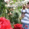 【加古川愛好家二木章夫さん】が育てた華やかなバラが見ごろのようですよ!(見頃は5月いっぱいまで)