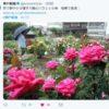 澤芳郎さん「稲美薔薇園&澤工房」のバラが見ごろ!兵庫県稲美町